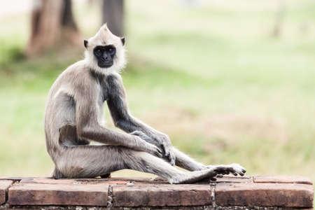 semnopithecus: Tufted gray langur monkey in Anuradhapura, Sri Lanka, Asia.