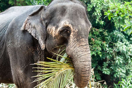 the miners: Eating elephant close view, Pinnawela, Sri Lanka.