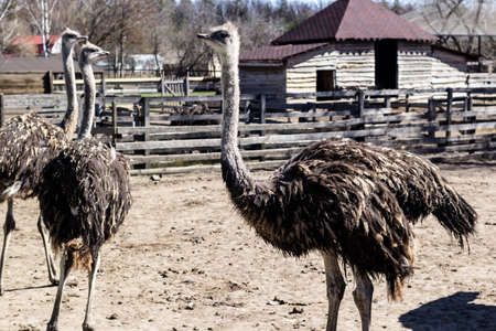 Ostrich birds on ostrich farm countryside