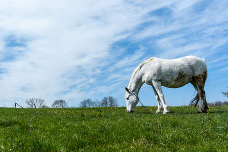 White horse on the meadow, with white clouds and blue sky.