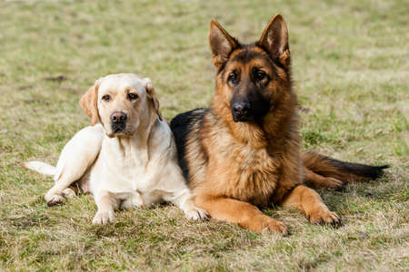 Two friends german shepherd and labrador retriever sitting on a green grass at the park. 免版税图像