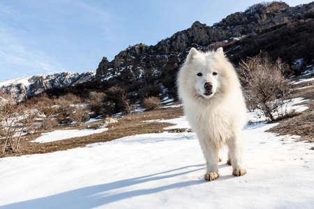 Samoyed dog full of joy in high mountains.