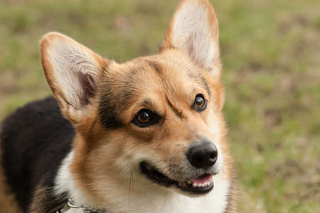 Cute dog portrait with green background.