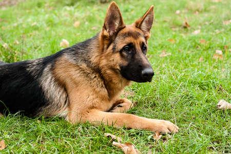 Deutscher Schäferhund, der auf Gras im Park sitzt