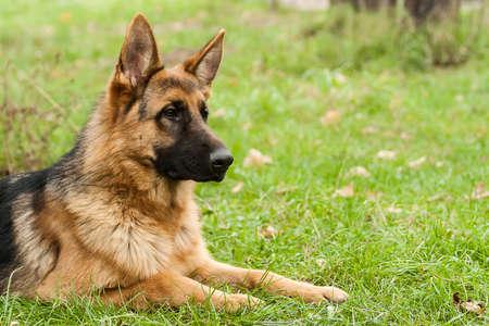 German shepherd dog sitting on grass in park