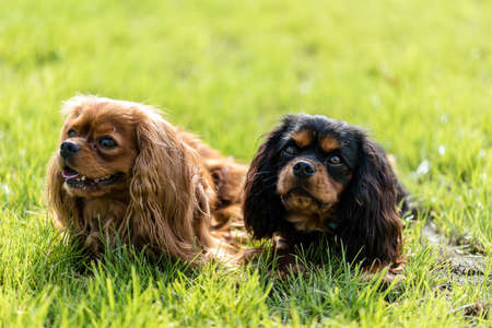 Two dogs Cavalier King Charles Spaniel relaxing on a green grass in a park. Reklamní fotografie