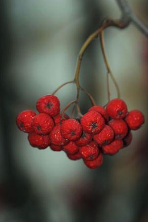 rowanberry: cluster of rowanberry on tree Stock Photo