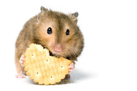 cute hamster: Hungry hamster eating cookie. On white background isolated.