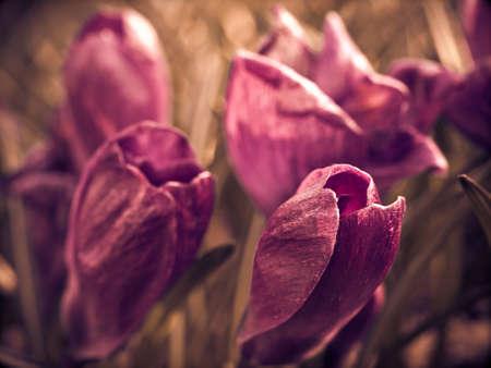 iridaceae: Crocus flowers in a garden, close-up, toned