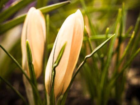 iridaceae: Yellow crocus in a flower garden