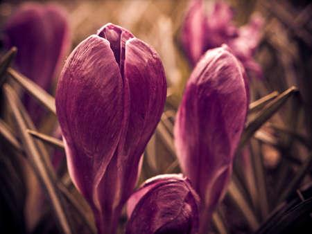 iridaceae: Crocus flower Stock Photo