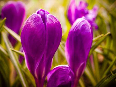 iridaceae: Purple crocus flowers in a garden, close-up