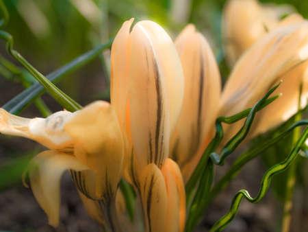 iridaceae: Yellow Crocus in a flower garden  Softness added