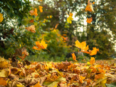 blows: Yellow leaves falling from trees on a sunny autumn day Stock Photo