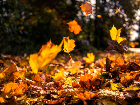 gust: Yellow leaves falling from trees on a sunny autumn day Stock Photo