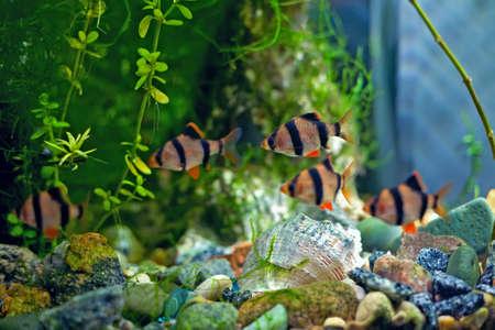 tetrazona: aquarium barbus Stock Photo