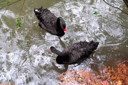 A pair of Black Swans floating on water.