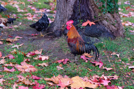 colorful rooster on autumn background