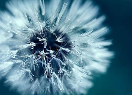 Macro shot of dandelion with water drops 写真素材