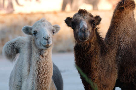 independent mongolia: Two camels surprised looking at the viewer in a zoo in the Crimea. The setting sun and bright wool Stock Photo