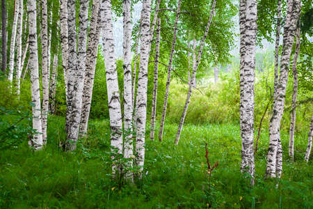Beautiful birch grove on the banks of the river in the Russian Siberia