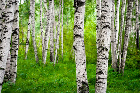 Beautiful birch grove on the banks of the river in the Russian Siberia photo