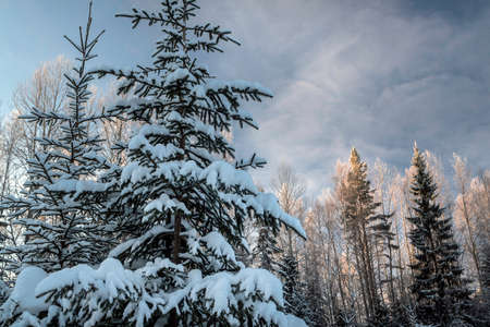 Fabulous snowy winter forest, trees under snow against the bright blue sky in northern Russia photo