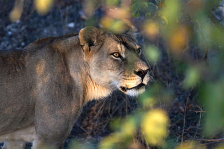 Lioness peeking from behind green plants in the park Lions in the Crimea. Close-up of the head with beautiful eyes photo