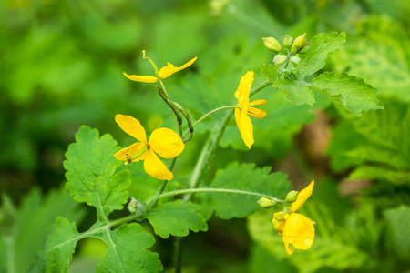 close range: Four yellow flowers on a branch of a bush among the bright green summer captured at close range