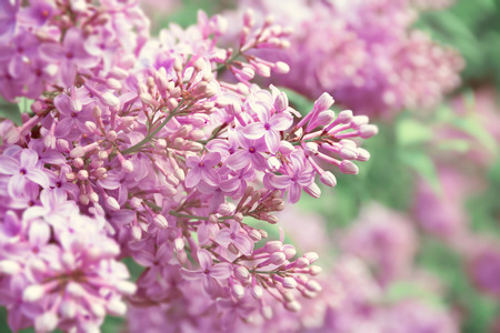 Toned Blurred Purple Lilac Blossoming Flower Background.