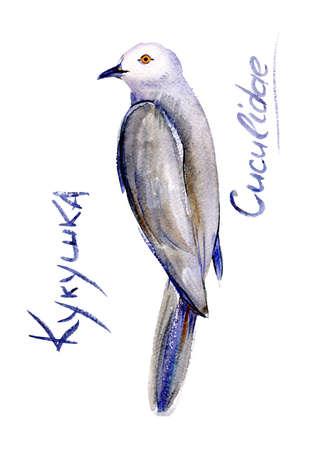 Surprised cuckoo. Bird