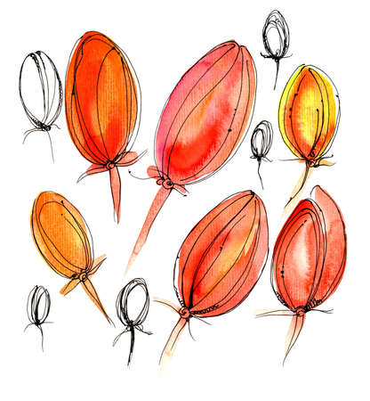 Beautiful red untapped tulips on a white background. Watercolor