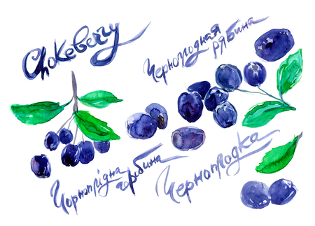 hand drawn painted set of watercolor sketch of isolated berries black chokeberry, Aronia melanocarpa on white background with handwritten words. Title in English, Russian and Ukrainian Stock Photo