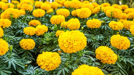 Beautiful Marigold flower in garden.