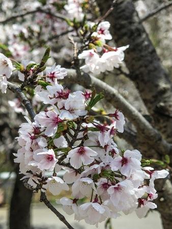 Sherry blossom or Sakura flowers in Japan. Sakura will blooming in March to April. (Hanami festival ) Stock Photo