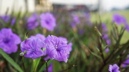 Mexican petunia ,Purple Ruellias flower on green background ( Unfocused background)