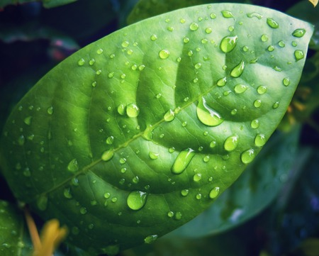 Rain water droplets on green leaf macro which it occur after raining. Drops of dew in the morning glow can make very freshness concept. Stock fotó