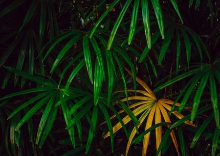 열대 우림에 풍부한 열대 녹색과 노란색 야자 잎. 그것은 항상 가정과 사무실에서 꾸미는 데 사용됩니다. 스톡 콘텐츠 - 104178510