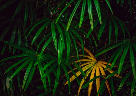 Tropical green and yellow palm leafs which it abundant in rain forest. It always usually for decorate in home and office.