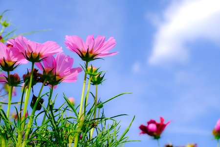 Close up pink cosmos flower with blue sky clouds and sunlight for natural background. Uprisen angle.