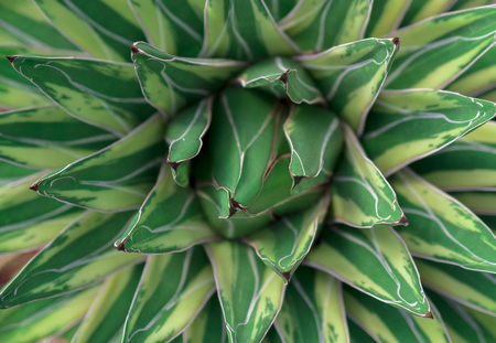 Close up beautiful agave cactus abstract natural background and texture.