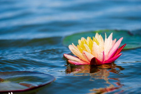 Light pink of water lily or lotus with yellow pollen on surface of water in pond. Side view and peace concept.