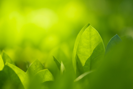 Close up beautiful view of nature green leaves on blurred greenery tree background with sunlight in public garden park. It is landscape ecology and copy space for wallpaper and backdrop. Banque d'images