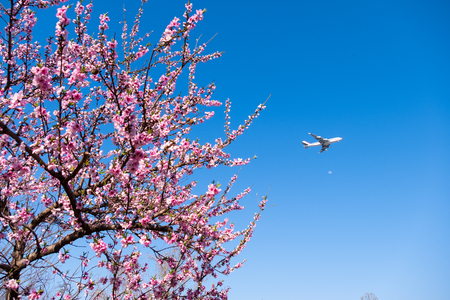 Beautiful pink Sakura flower tree and airplane with blue sky. Traveling concept.