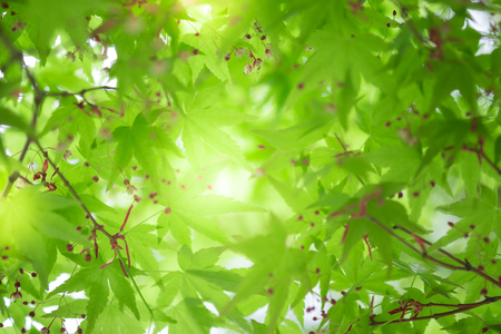 Close up beautiful view of nature little maple green leaves on blurred greenery tree background with sunlight in public garden park. It is landscape ecology and copy space for wallpaper and backdrop.