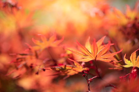 Closeup natural red maple leaf with sunlight in fall season. It is landscape ecology and copy space for wallpaper and backdrop. Stockfoto
