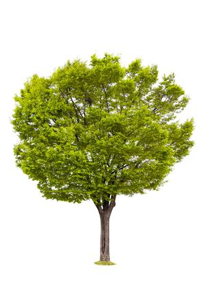 Isolated of tree on white background and clipping path for ecology decoration website and magazine.- Image. Zdjęcie Seryjne