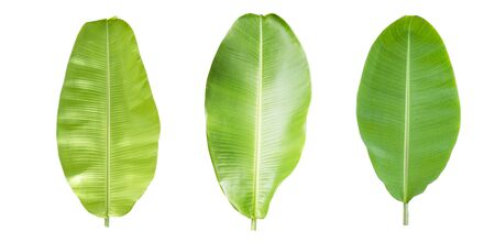 Banana leaf collection on white background. Clipping path and Isolate. Zdjęcie Seryjne