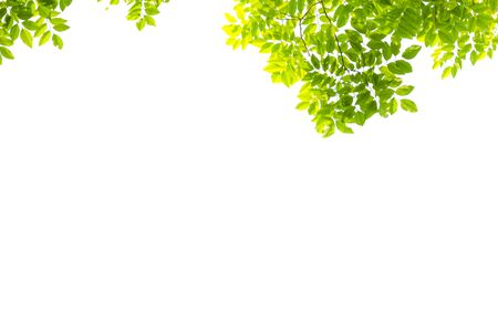 Isolated of beautiful tree branch with leaf on white background. 스톡 콘텐츠