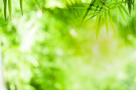 Closeup beautiful view of nature green bamboo leaf on greenery blurred background with sunlight and copy space. It is use for natural ecology summer background and fresh wallpaper concept. Zdjęcie Seryjne - 147579742